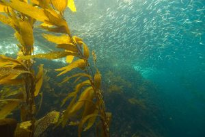 A school of sardines, an important food for salmon during their time in the ocean. Photo: California Department of Fish and Wildlife.