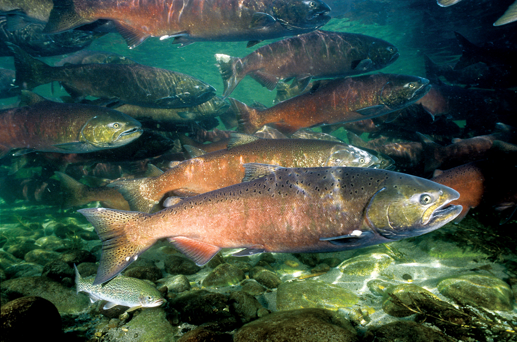 The Long Road to Salmon Recovery