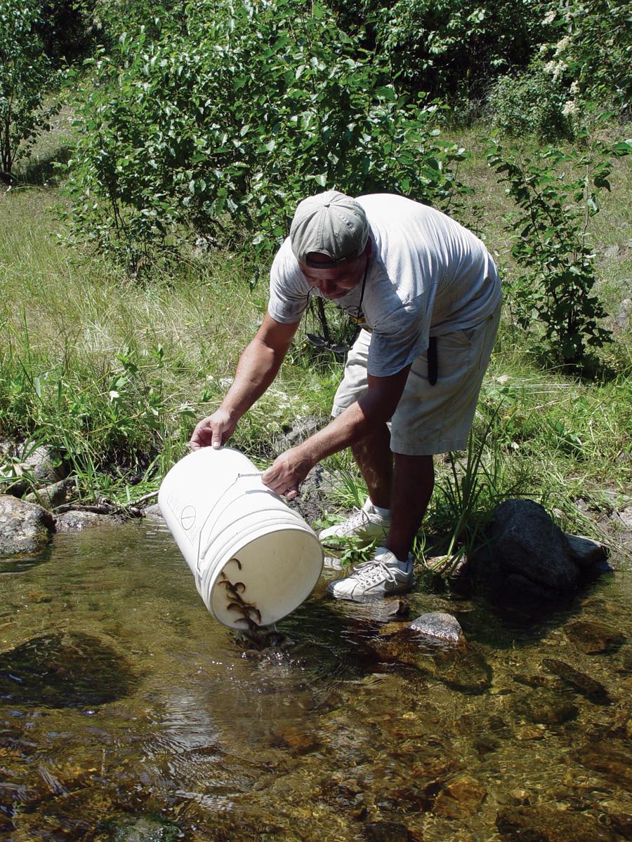 coho salmon outplanting