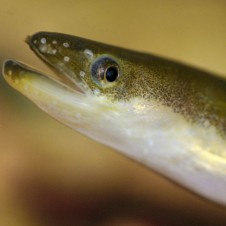 American Eel mouth detail