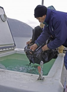 Nez Perce Fisheries Lamprey Lead Elmer Crow salvaging lamprey at John Day Dam
