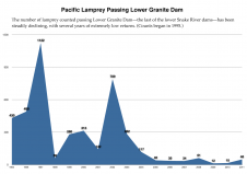 Pacific lamprey counts at Lower Granite Dam