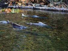Lookingglass Creek swimming salmon