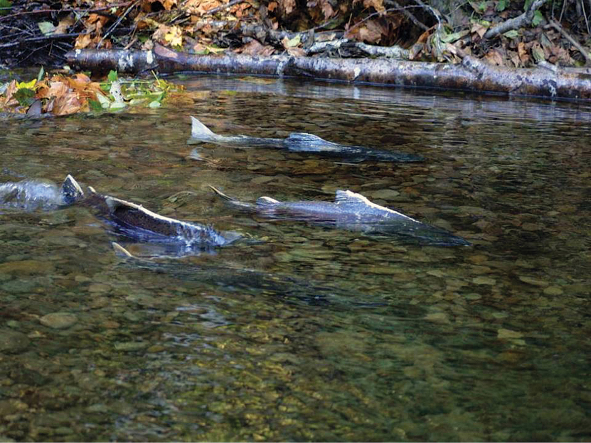 Forecasting Salmon Runs
