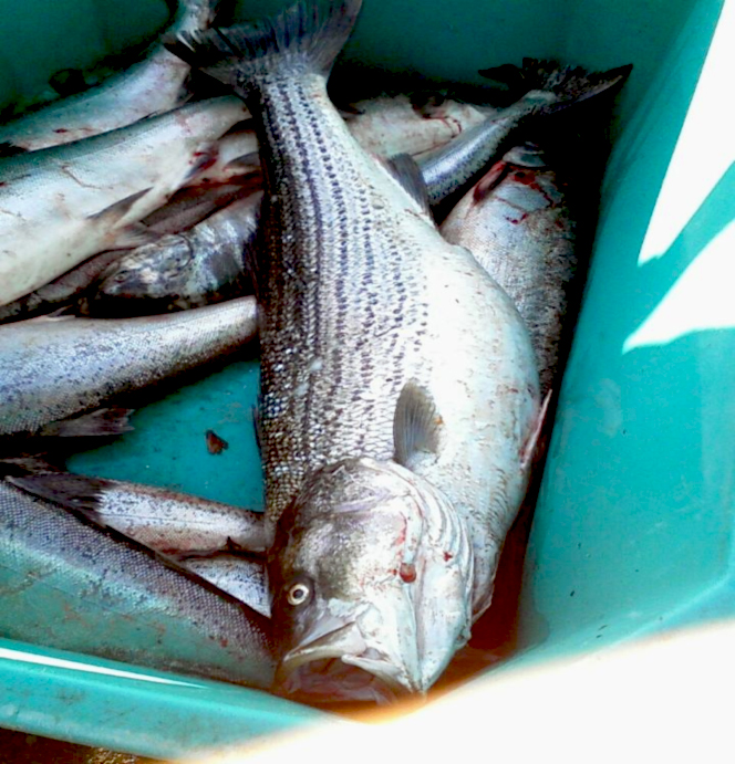 Striped Bass in the Columbia River?!
