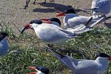 A Caspian tern with a salmon smolt caught in the Columbia River estuary.