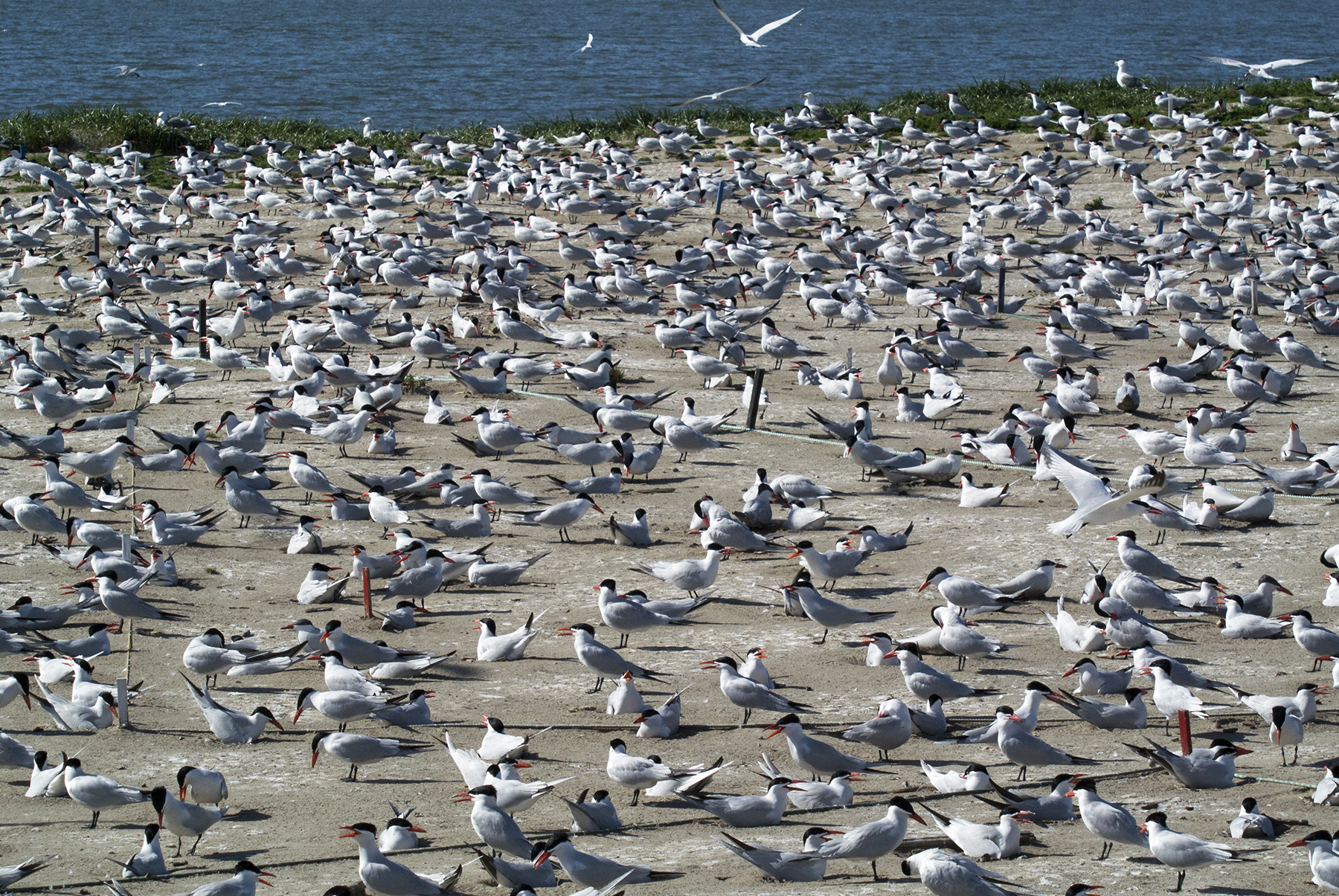 The Caspian Tern Colony in the Columbia River Estuary