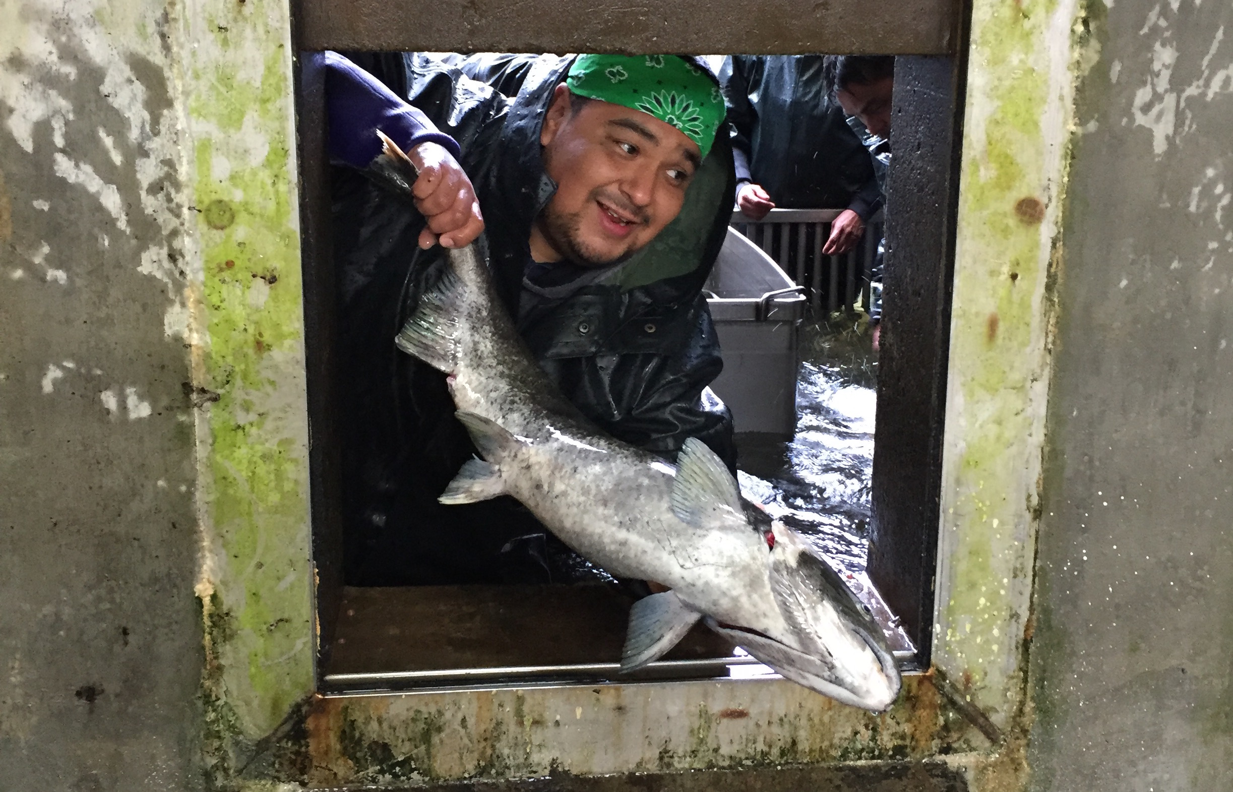 A Nez Perce Fisheries fish technician moves an adult fall chinook in preparation for spawning at the Nez Perce Tribal Hatchery.
