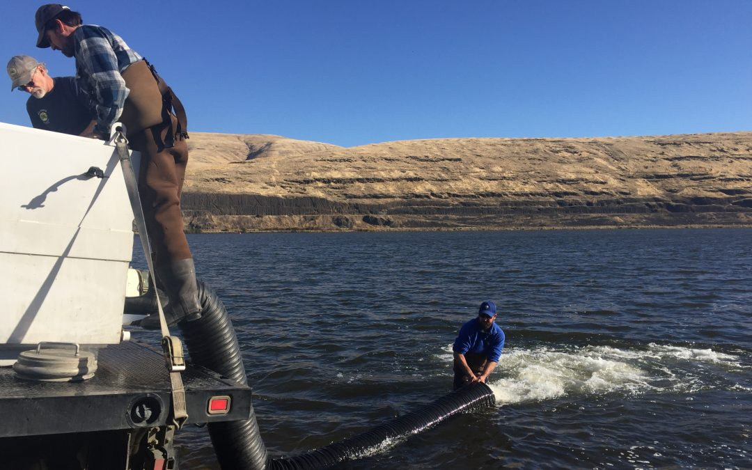 Tribal Program Increases Adult Wild Steelhead  in Snake River by 20 Percent